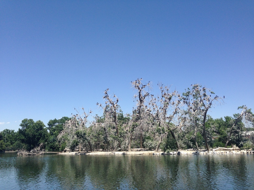The double-crested cormorant nesting colonies at City Park's Duck Lake